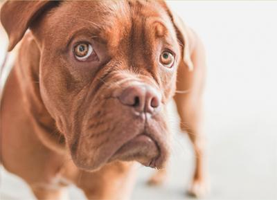 Adfærd hund